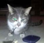 cat lost in St-Hubert