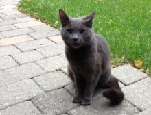 cat found in Montreal West