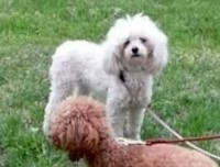 Poodle lost in Laval