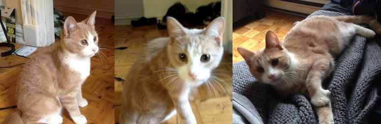 Jeune Chat Beige Et Blanc Trouv 233 Dans Le Plateau Petluck Ca