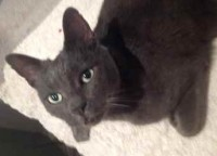 cat found in South West Montreal