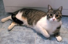 cat found in St-Basile-le-Grand