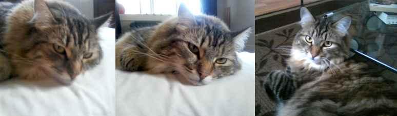 cat lost in Ahuntsic