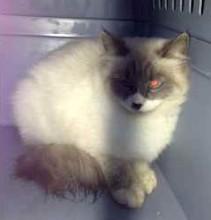 cat lost Rosemont siam-x