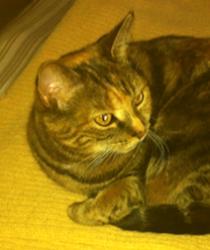 cat lost in Mercier