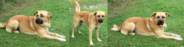dog found in Hemmingford