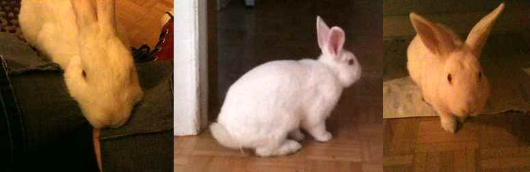 rabbit found in South West Montreal