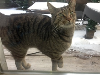 cat found in St-Jérôme