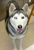 husky found in Rougemont