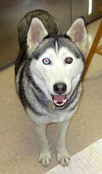 husky found in Rougemont