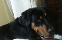 Rottweiler lost in Laval