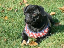 pug lost in St-Alexis-des-Monts