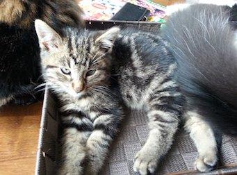 chaton trouvé à St-Eustache