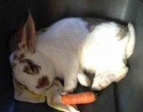 rabbit found in Boisbriand
