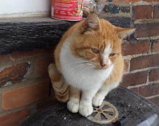 cat found in Pointe Saint-Charles