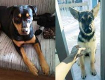 2 dogs lost in Laval