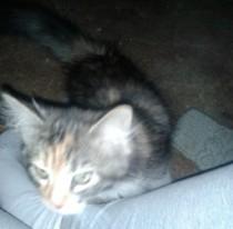 kitten found in Dorval