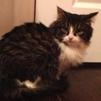 kitten found in St-Canut