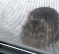cat found in Gatineau