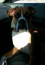 Boxer found in Lachine