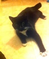 tuxedo kitten found