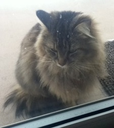 cat found in St-Hubert
