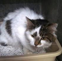 kitten found in Ahuntsic