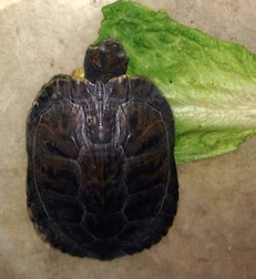 Turtle found in Ville St-Laurent