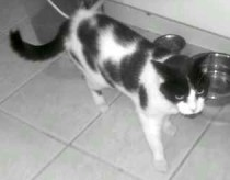 cat found in Beahaurnois