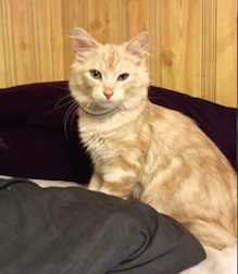 cat lost in Chateauguay