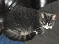 cat lost in Brossard