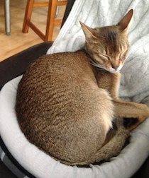 Abyssinian lost Pointe Saint-Charles