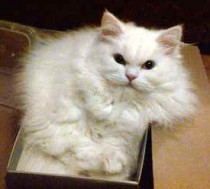 lost Persian cat