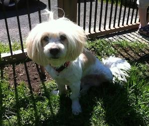 dog found in Pointe-Calumet