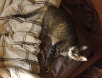 Grey tabby found in Boucherville