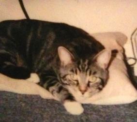 cat lost in Laplaine