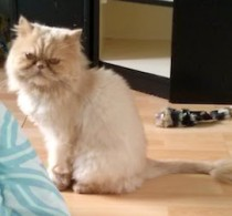 Persian cat found in Laval