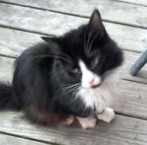 cat found in Rigaud