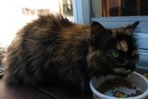 cat found in Varennes