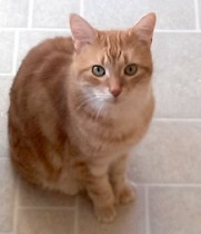 cat lost in Montreal North