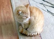 cat lost in Ste Adèle