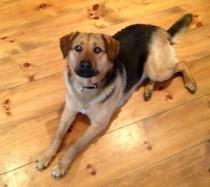 dog found in Mont Laurier