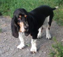 dog found in Ste Angèle de Mon basset