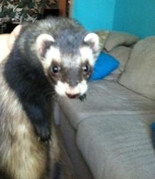 ferret found in Ville Émard