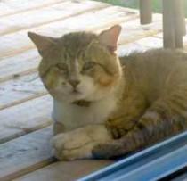cat found in Chertsey