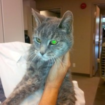 cat found in Pointe Claire