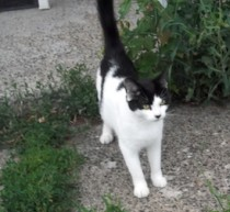 cat found in Ste Anne de Sorel