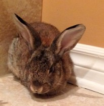 rabbit found in Ville St-Laurent