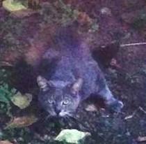 cat found in Laval des Rapides