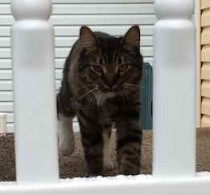 cat found in St Hyacinthe